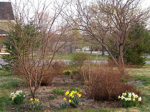Ранняя весна в саду - время для посадки черенков малины