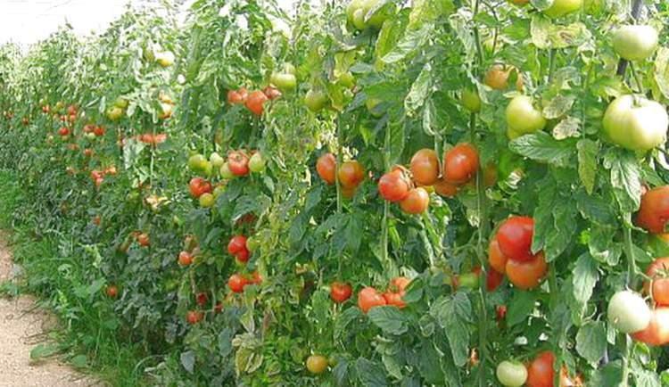 Полудетерминантный сорт томатов