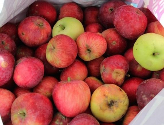 Яблоки - всегда желанный урожай на даче