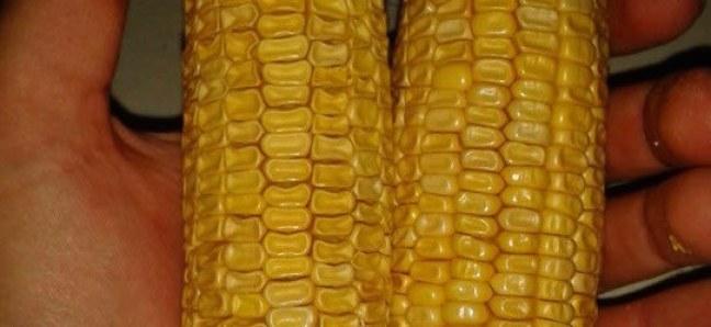 Переспелая кукуруза