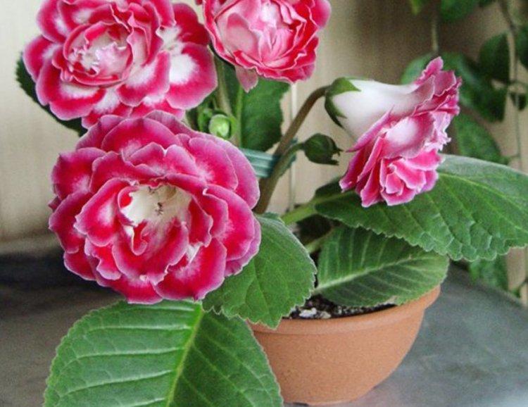 Глоксиния - желанный цветок для каждой хозяйки
