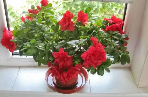 Цветок азалии в глубоком поддоне