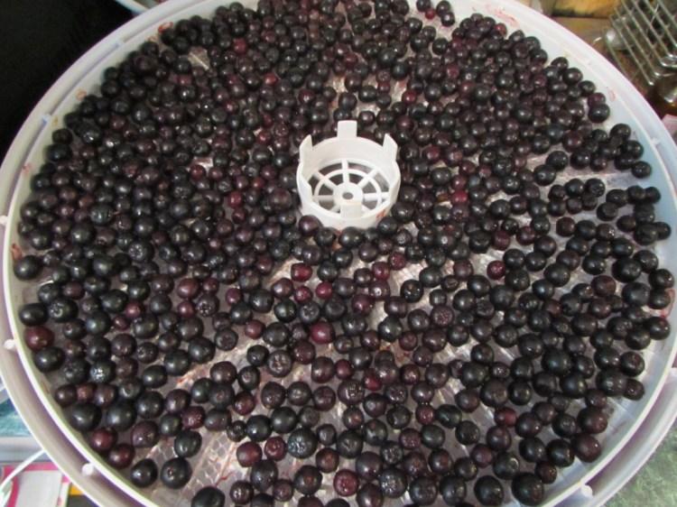 В электросушилке ягоды просушиваются значительно быстрее, чем на свежем воздухе
