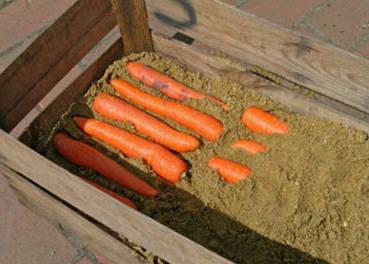 Укладка моркови в деревянные ящики