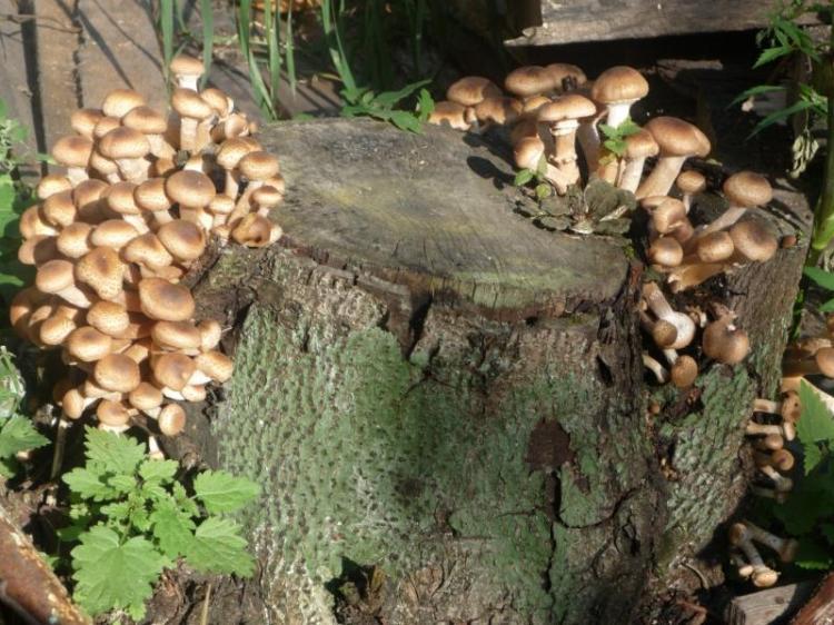 Пни - самое подходящее место для выращивания грибов на садовом участке