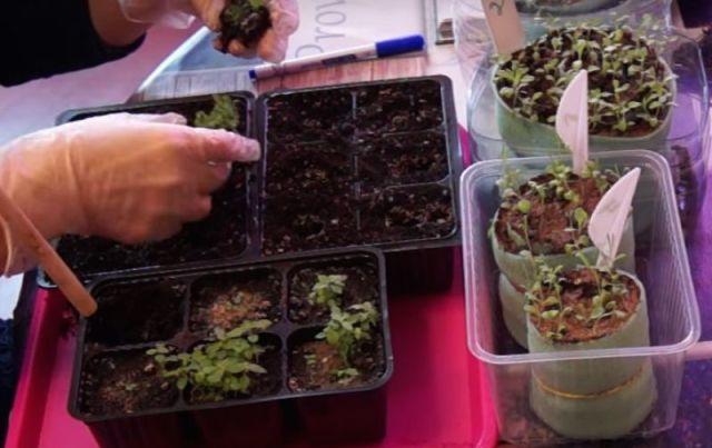 Проросшие семена астильбы