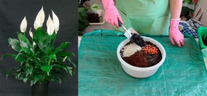 Подготовка грунта для спатифиллума
