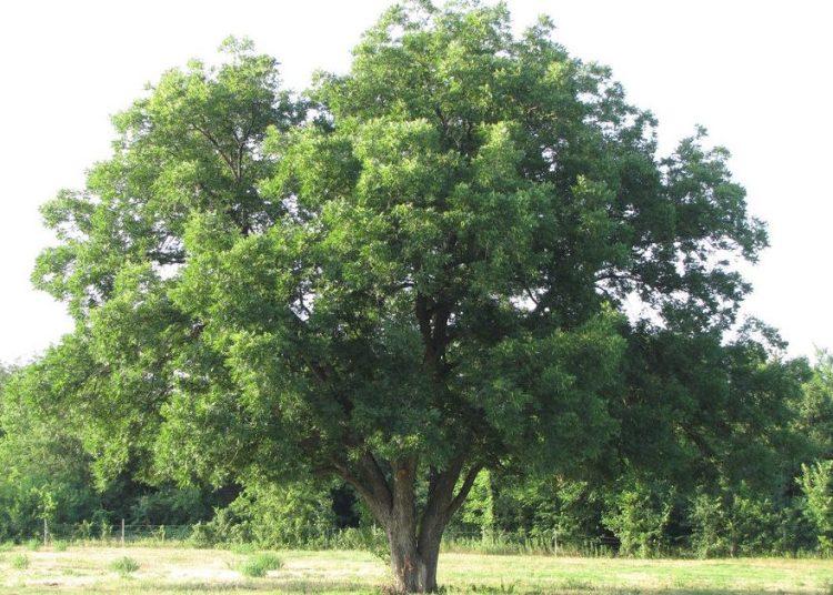 Дерево ореха пекан