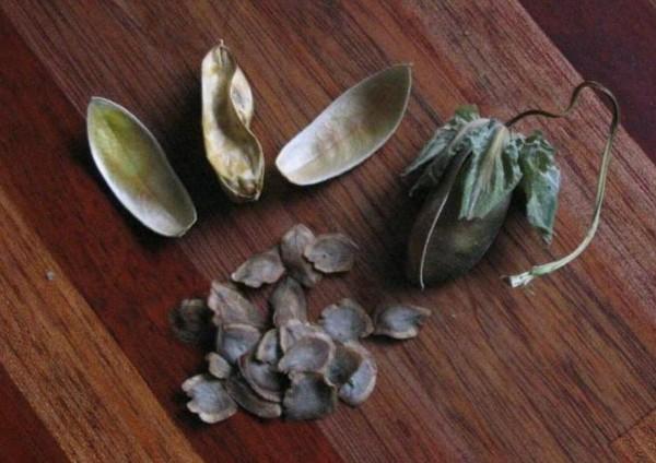 Семена кобеи из бутона