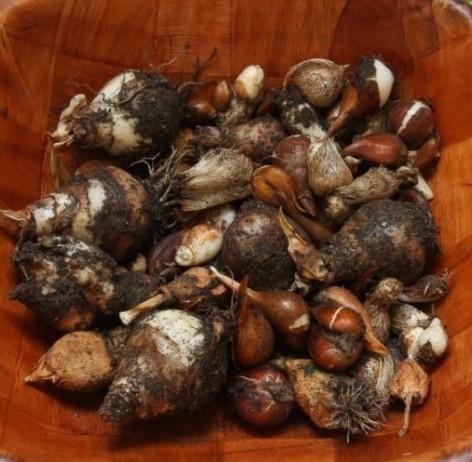 Луковицы тюльпана перед хранением