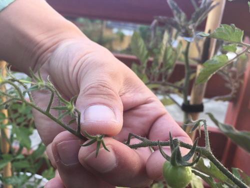 Появление завязей томатов