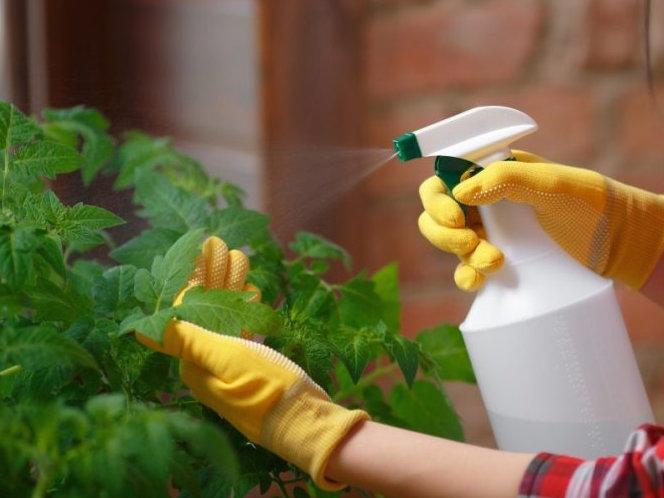 Опрыскивание листьев помидор