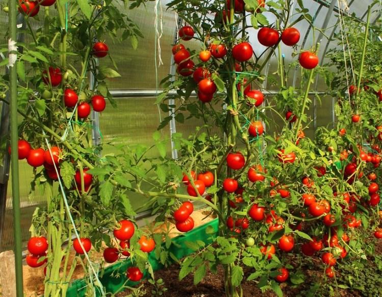 Подвязка помидор всегда положительно влияет на урожай