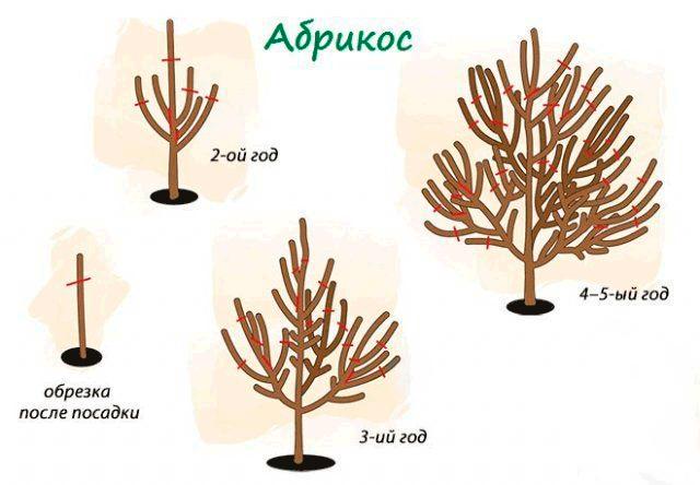 Схема возрастной обрезки абрикоса