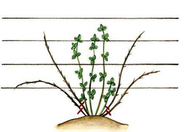 Схема обрезки садовой ежевики
