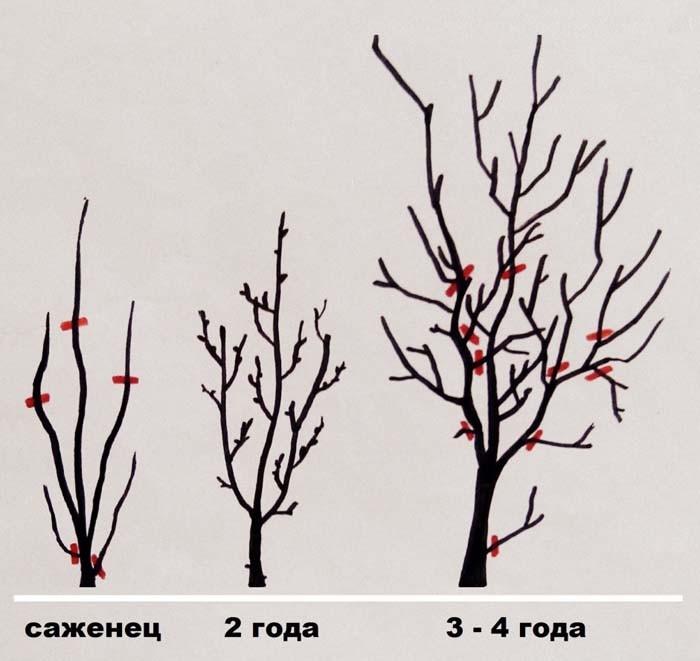 Схема обрезки саженцев сливы