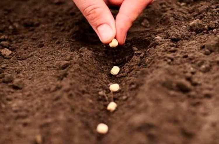 Лаватера: выращивание из семян