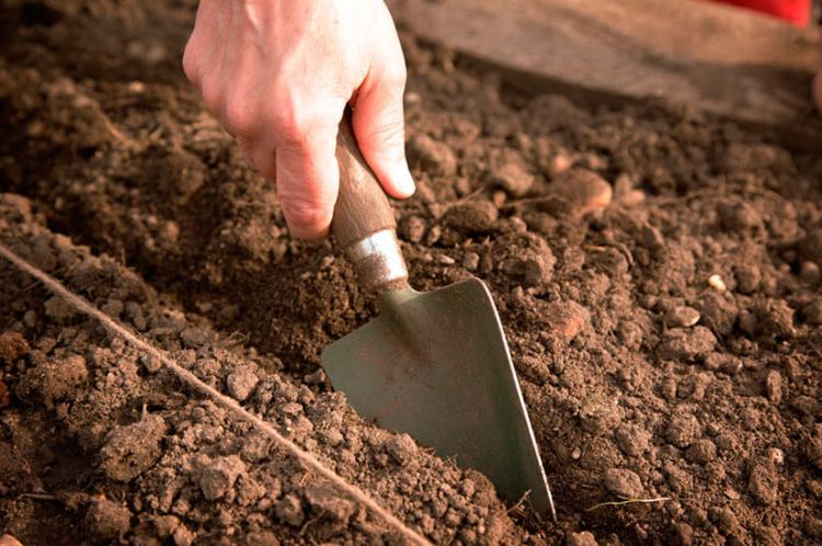 Иберис: выращивание из семян