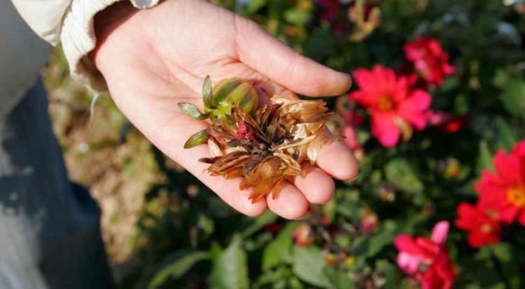 Циния: выращивание из семян