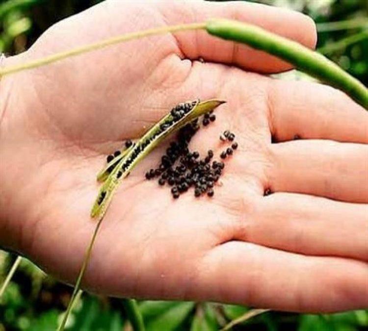 Сбор семян маттиолы