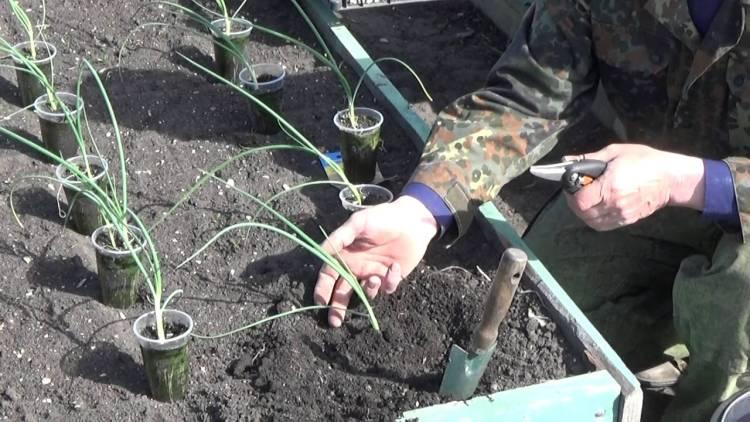 Лук эксибишен: выращивание из семян