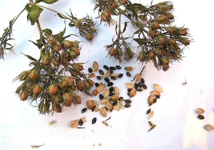 Флоксы: выращивание из семян