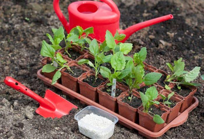 Астры: выращивание из семян