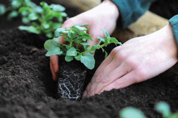Сроки посадки петунии на рассаду