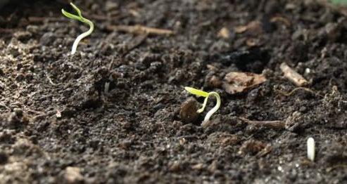 Когда весной сажать петрушку в открытый грунт