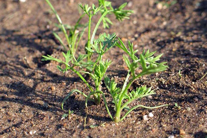 Морковь: когда весной сажать в открытый грунт