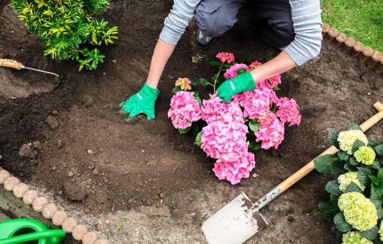гортензия когда сажать весной в открытый грунт