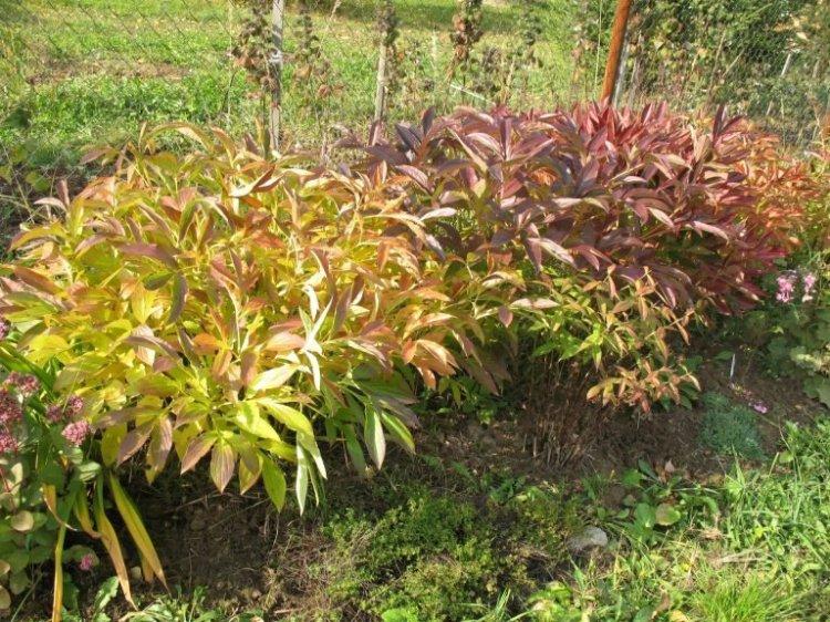 Осенняя подкормка пионов