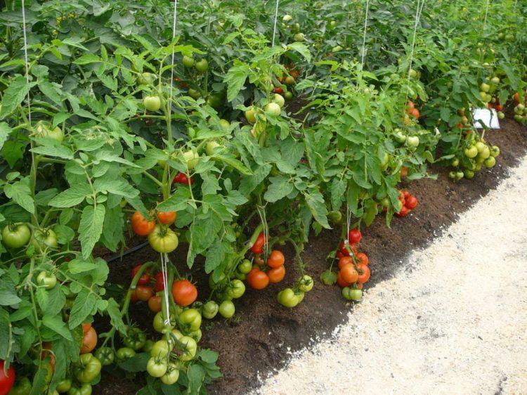 Индетерминантный сорт помидор