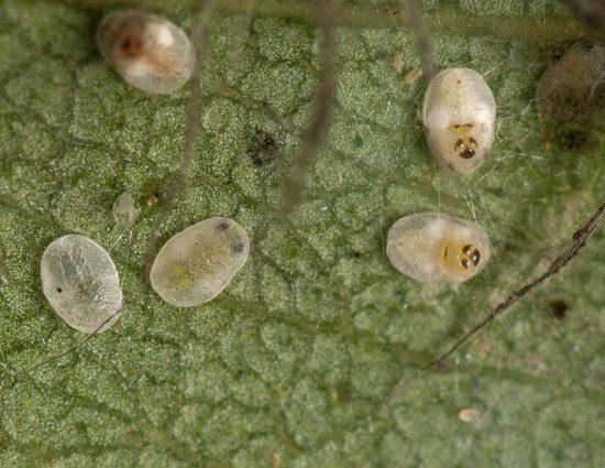 Личинки белокрылки на перце