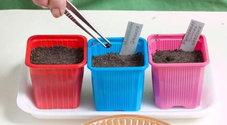 Когда сажать мирабилис на рассаду семенами