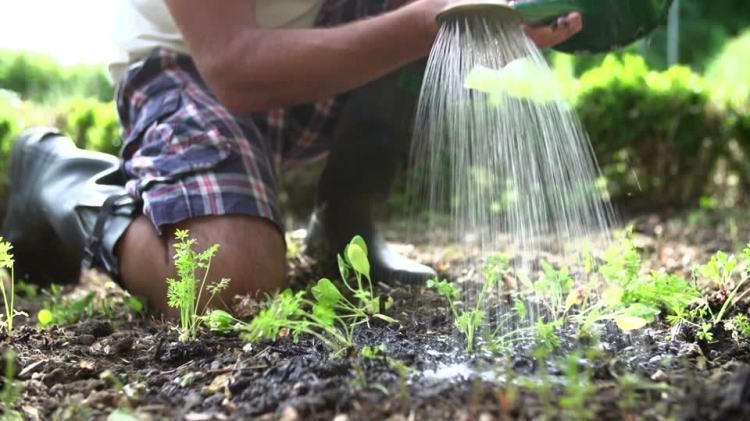 Как часто поливают морковь в открытом грунте
