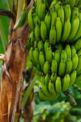 Banana Fruit Facts