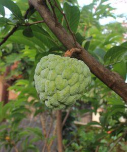 Cherimoya Fruit health Facts