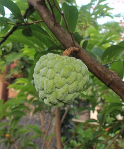 Cherimoya Fruit health Facts