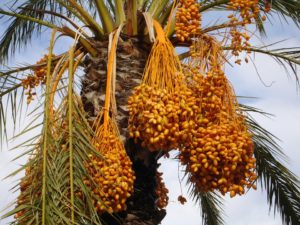 Dates Fruits Facts