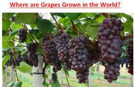Where are Grapes Grown in the World