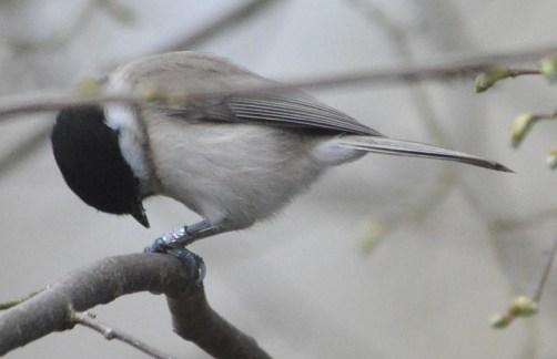 Glanskop - Poecile palustris