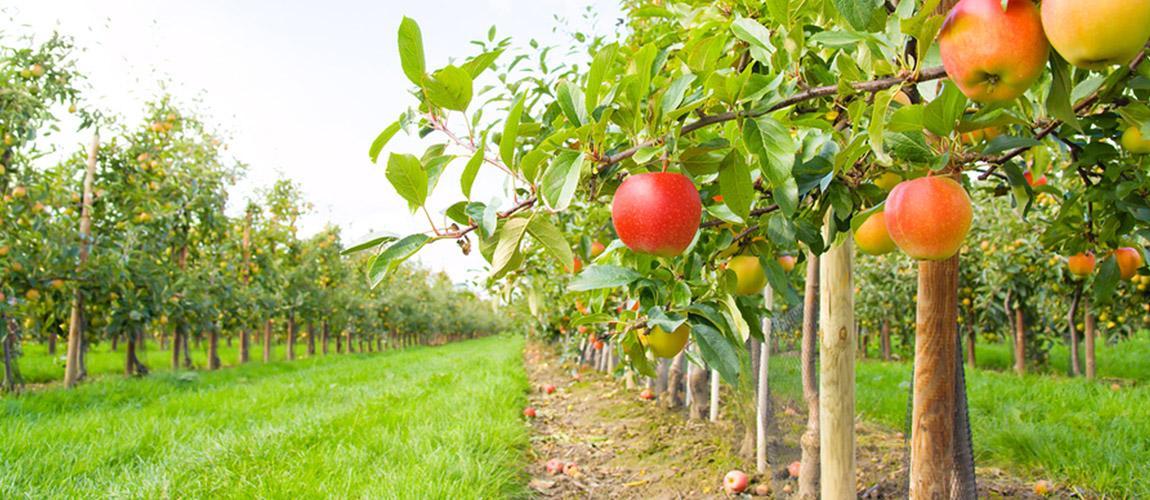 Környezet- és költségkímélő almatermesztés
