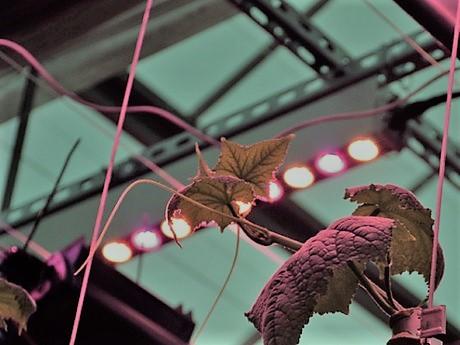 A LED világítás használata az uborka termesztésében jelentősen növelheti a hozamokat
