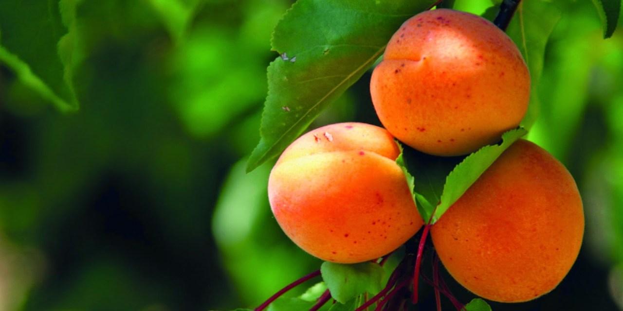 Kevesebb hatóanyag, új károsítók – a gyümölcsösök növényvédelmének időszerű kérdései