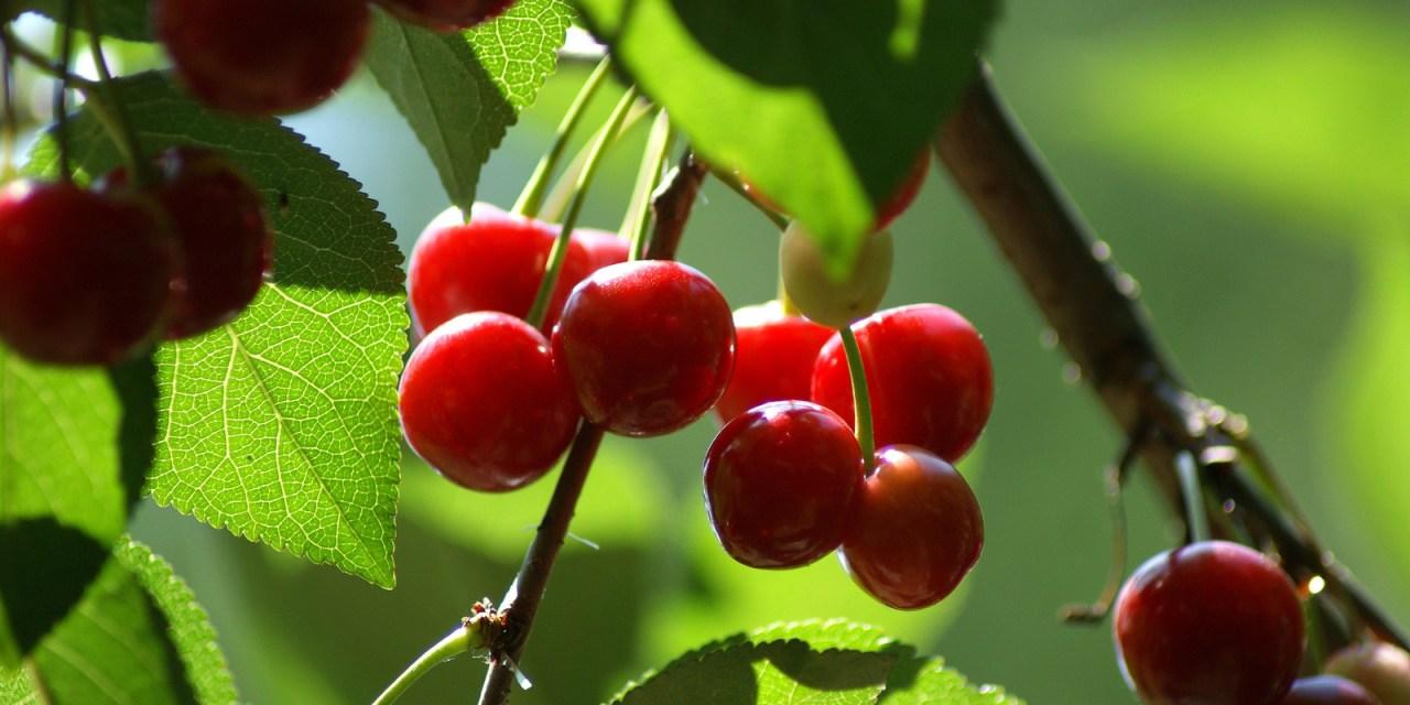 Az alma- és meggytermelők pozícióját erősíti a felvásárlás kötelező szerződésbe foglalása