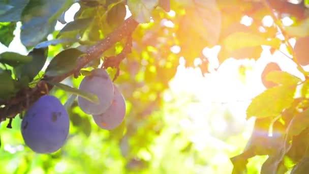 Védjük a fejlődő gyümölcsöket az UV sugaraktól