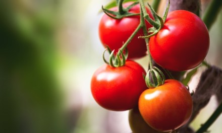 Forradalmian új, lignit alapú üvegházi termesztő közeg