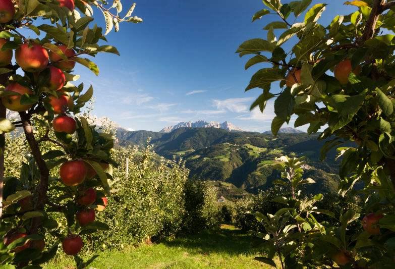Dél-Tirolban jó almatermésre számítanak
