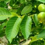 A Nemzeti Agrárkutatási és Innovációs Központ Gyümölcskutató Intézete diótermesztési szakmai napot szervez